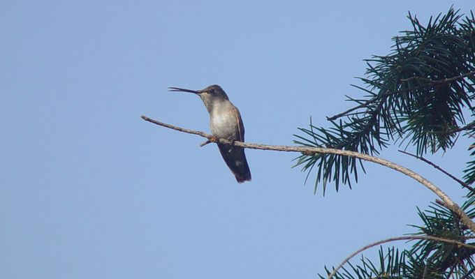 A hummingbird resting up high on a twig